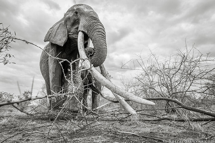 rainha elefanta 6