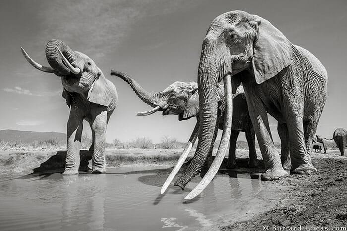 rainha elefanta 7