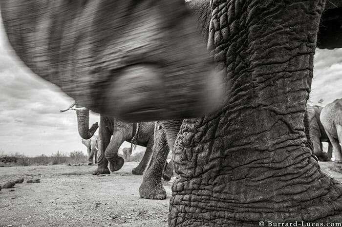 rainha elefanta 9