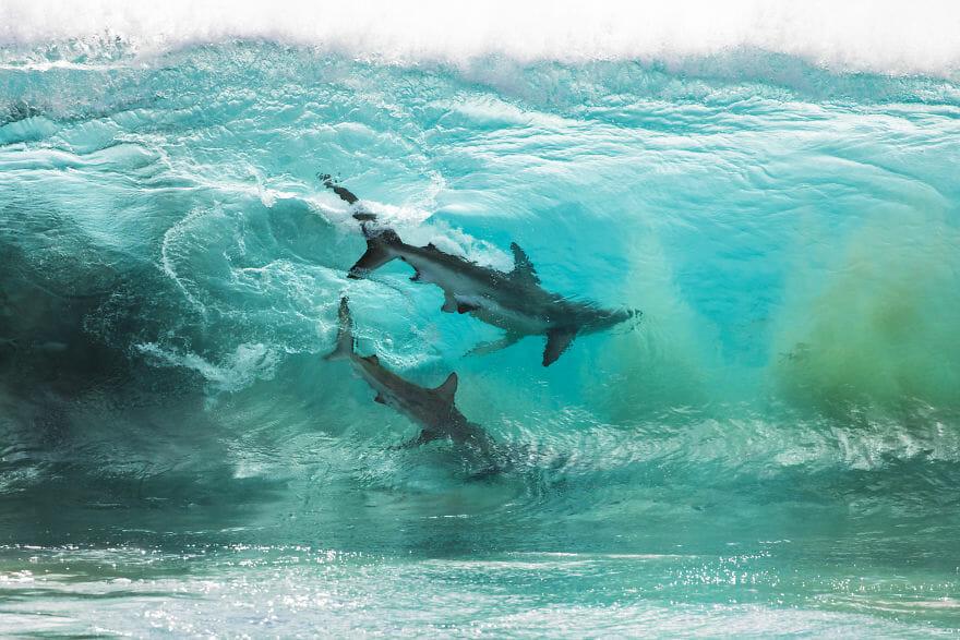 tubarões surf austrália 1