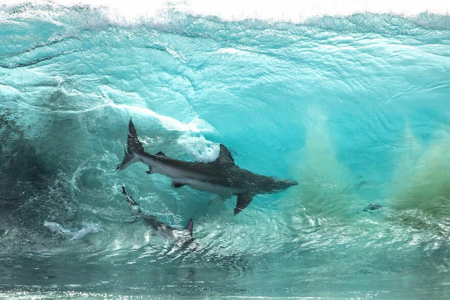 tubarões surf austrália 2