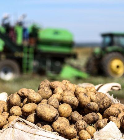 Colamos nesta plantação para entender o beabá das batatas fritas