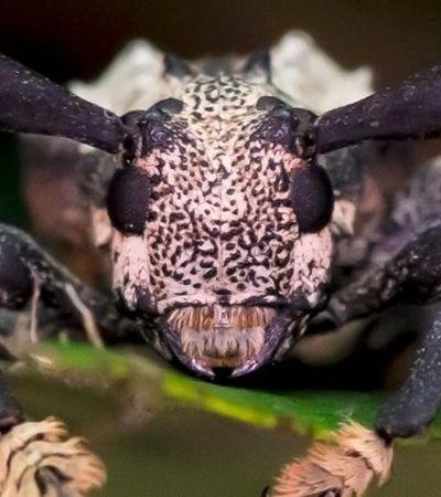 Besouro escorpião que pica e é venenoso é encontrado no Brasil pela primeira vez