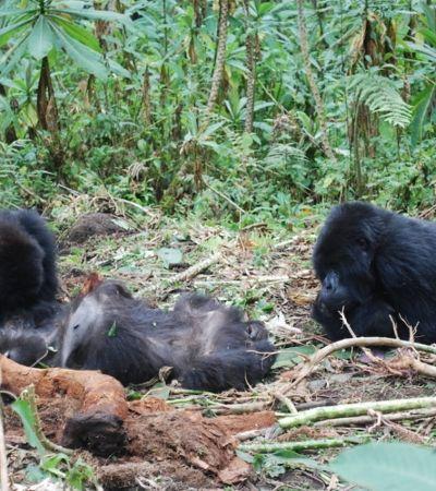 Luto de gorilas por morte de membro da 'família' é registrado por fotógrafo