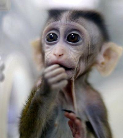 Cientistas chineses colocam genes do cérebro humano em macacos. E ele ficam mais inteligentes