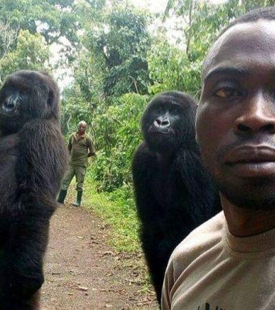 Gorilas posam para selfie com cuidadores e protetores em parque nacional no Congo