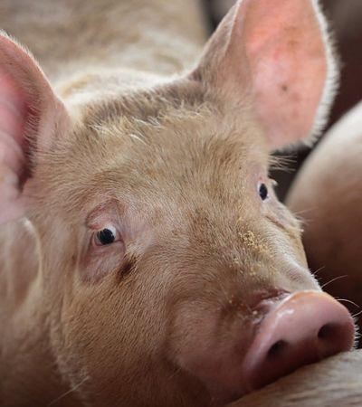 Peste suína se espalha e 200 milhões de porcos podem ser abatidos na China