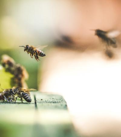 180 mil abelhas que viviam em telhado de Notre Dame sobrevivem ao incêndio