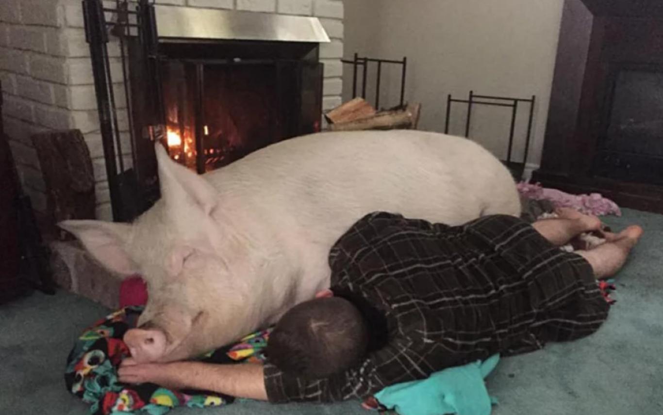 casal adota porco gigante 3