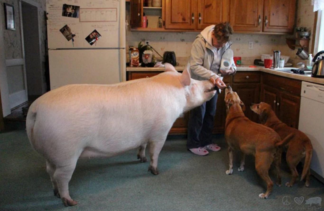 casal adota porco gigante 5