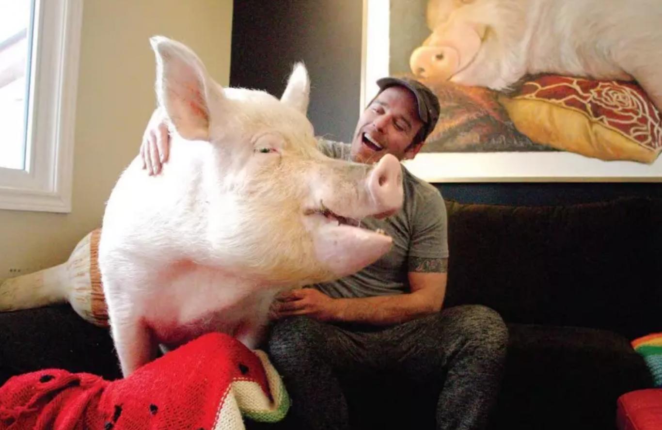 casal adota porco gigante 6