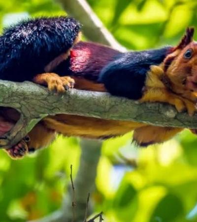 Esquilo do punk rock? Espécie rara com pelos coloridos é fotografada na Índia