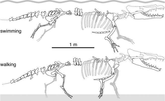 fóssil baleia 4 patas 2