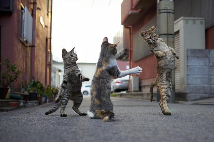 gatos dançando 10