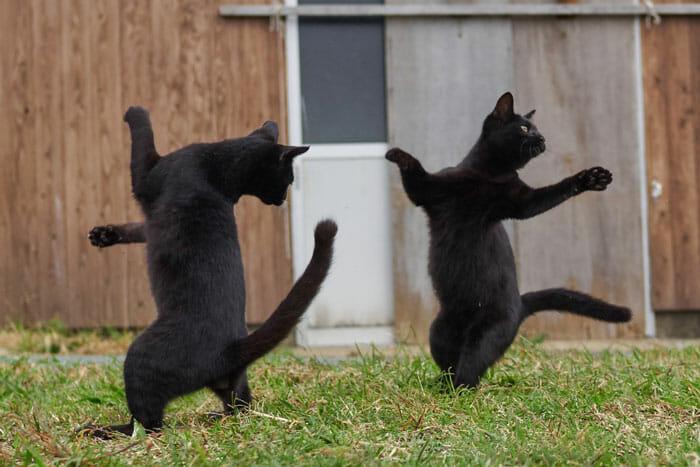 gatos dançando 13