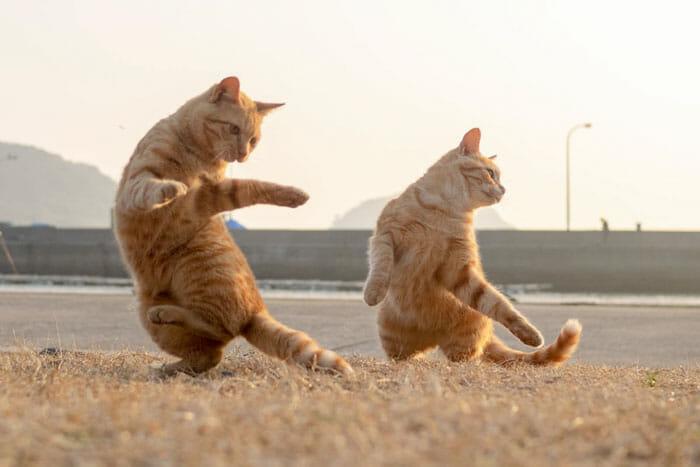 gatos dançando 14