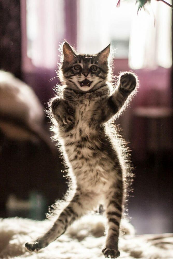 gatos dançando 4