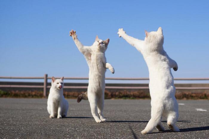 gatos dançando 8