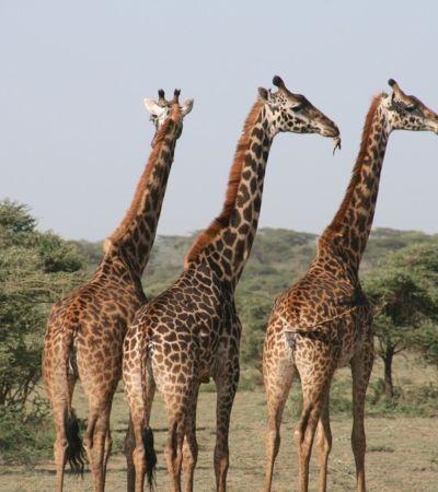 Girafas entram na lista de espécies ameaçadas de extinção