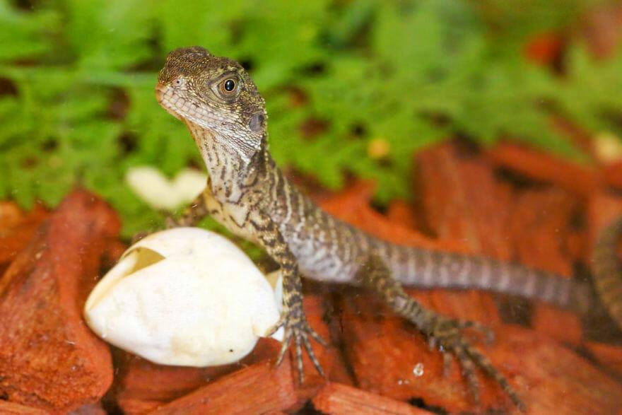 ovos dragão quintal 10