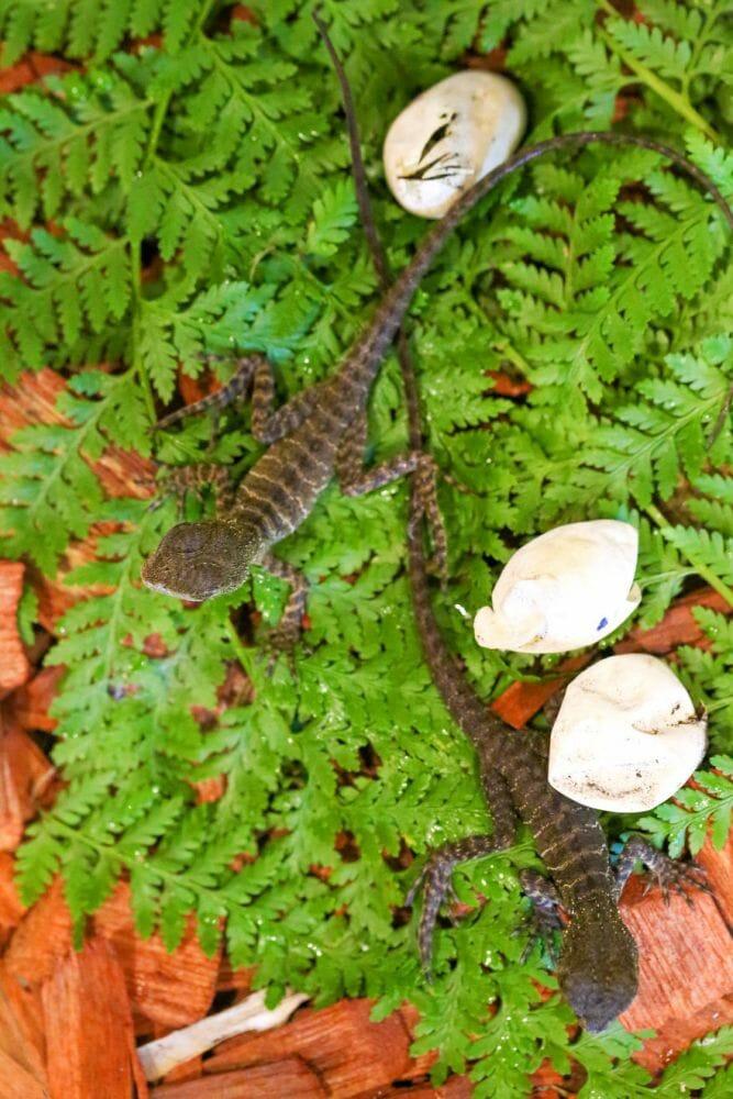 ovos dragão quintal 11