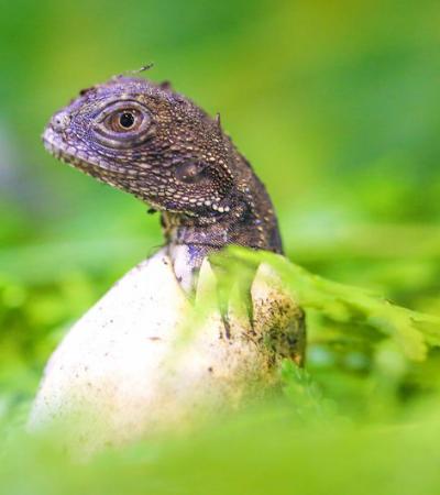 GoT? Casal encontra ovos de dragões da vida real no quintal de casa, na Austrália