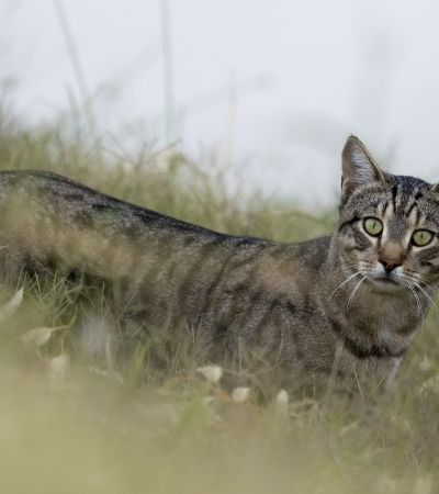 Por que a Austrália pretende envenenar 2 milhões de gatos selvagens em 2 anos