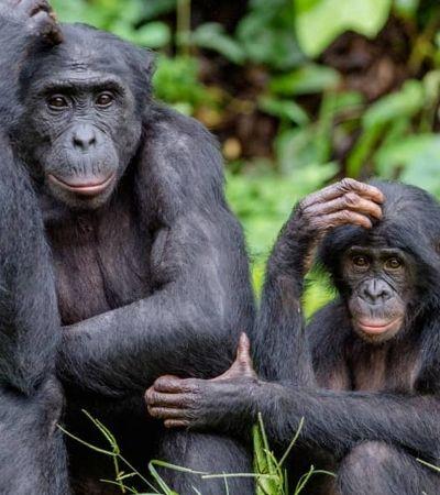 No matriarcado dos bonobos, as mães escolhem fêmeas para os filhos