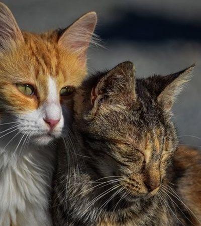 Gatos não são os responsáveis pela onda de toxoplasmose em São Paulo