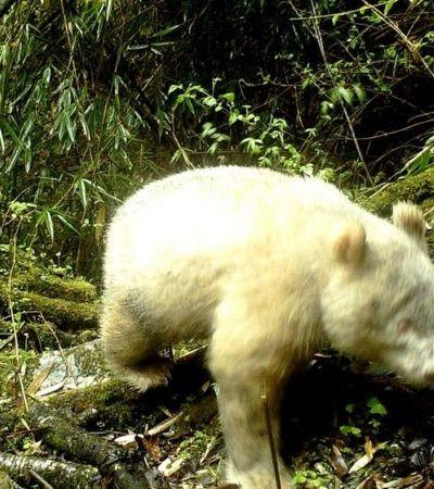 Panda albino, o mais raro do mundo, é fotografado pela 1ª vez em reserva natural na China