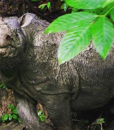 Extinção à vista: Morre o último rinoceronte-de-sumatra macho