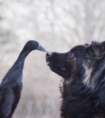 A inesperada amizade entre um cão e um pato que inspira o amor pelo diferente