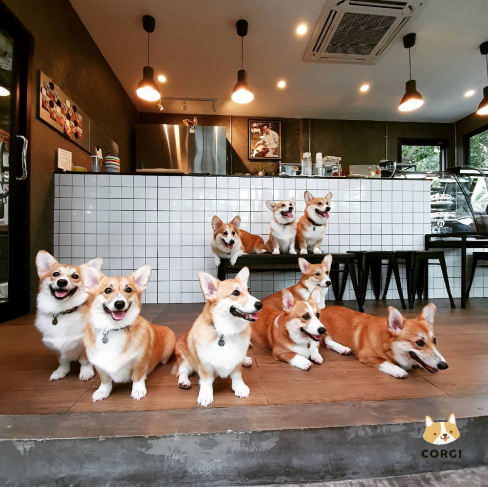 café cachorros tailândia 6