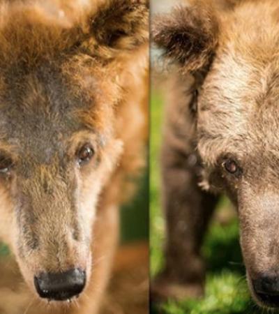 Ursa resgatada de circo no Piauí recupera peso, pelos e a felicidade em santuário