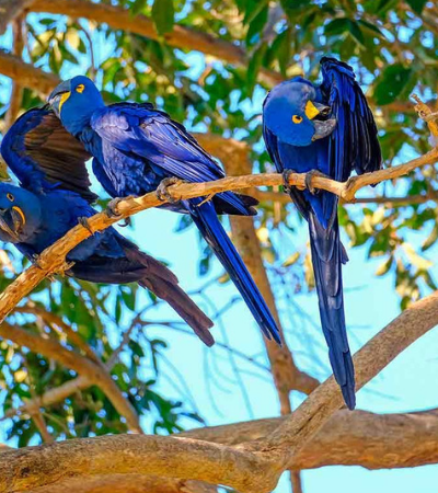 A natureza resiste: Lutando contra extinção, nascem 3 filhotes de arara-azul