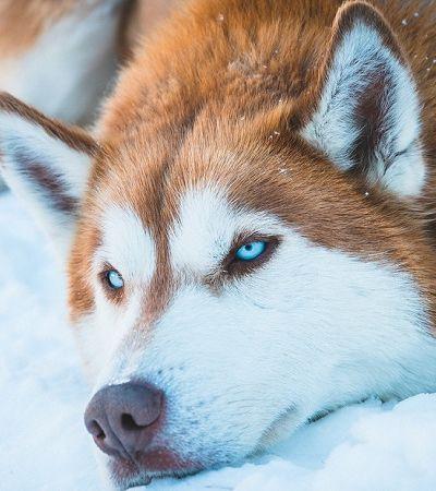 Após início de 'Game Of Thrones', número de huskies abandonados cresce 420%