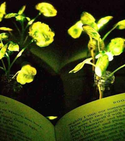 Plantas geneticamente modificadas podem iluminar casas no futuro