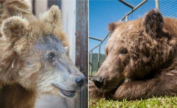 ursa resgatada santuário 2