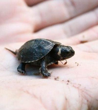 Espécie de tartaruga tida como extinta há 17 anos é encontrada em templo hindu