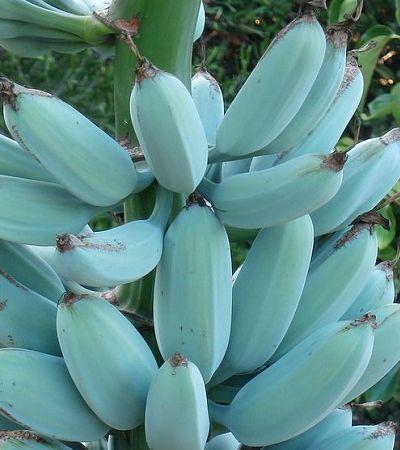 Já ouviu falar da banana naturalmente azul e com gosto de sorvete de baunilha?