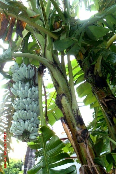 Cacho de Blue Java Banana
