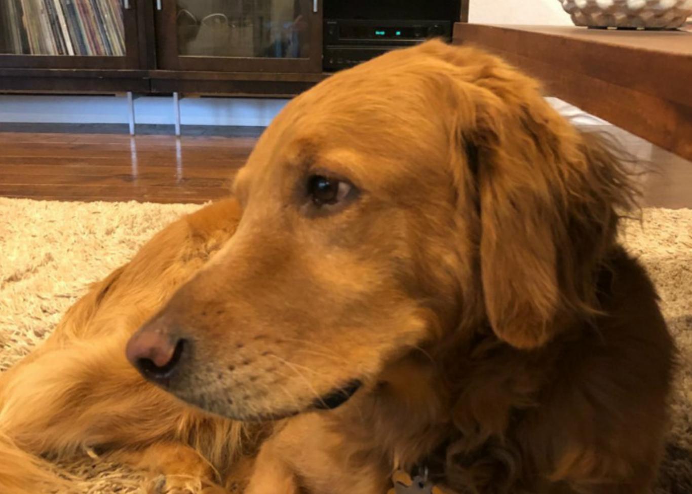 cachorro salva família 2