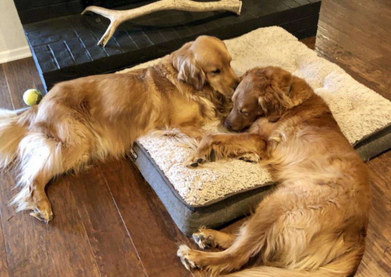 cachorro salva família 3
