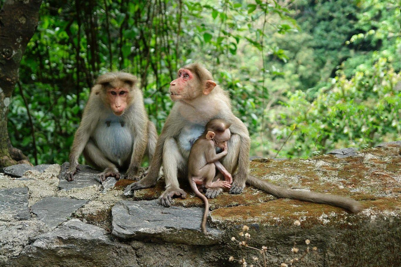 Dois macacos adultos, um deles abraçado em um macaco filhote, podem ser vistos em um ambiente natural