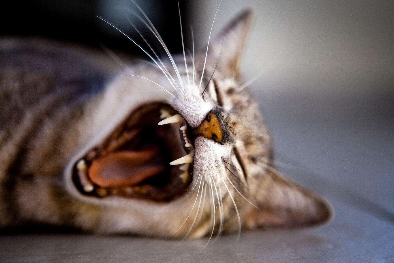 raça dos gatos 1
