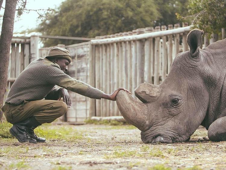 últimos rinocerontes brancos 1