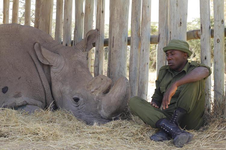últimos rinocerontes brancos 3
