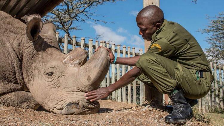 últimos rinocerontes brancos 4