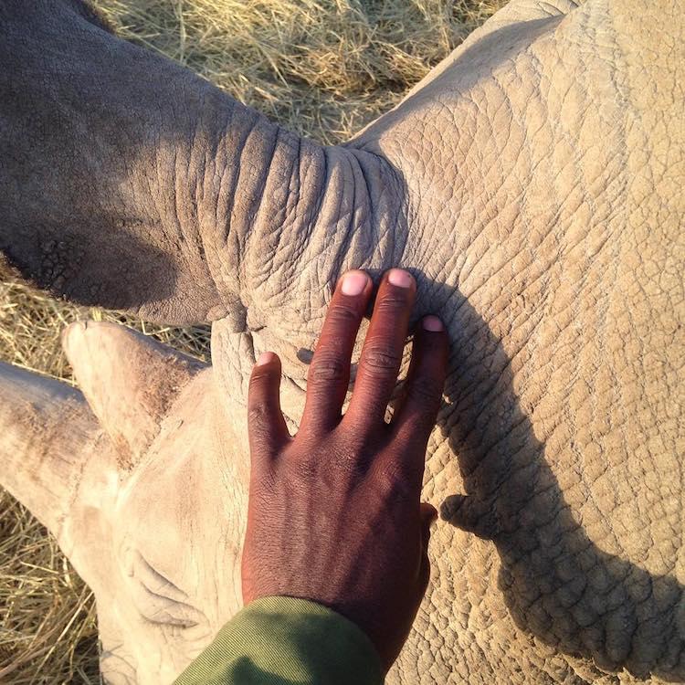 últimos rinocerontes brancos 5