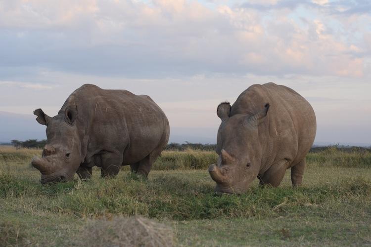 últimos rinocerontes brancos 6